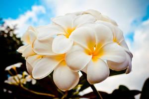 Romantic Beauty of Plumeria 01 by itsLyla