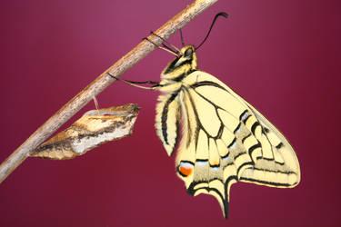 The Swallowtail by runear