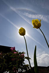Tulip eclipse by astrofireball