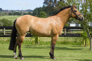 Dun Mare Horse by DWDStock
