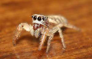 Spider by Sinova