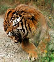 K-S: Tiger1 by Kyndelfire-stock