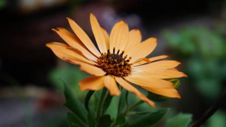 Yellow daisy by AmazingDX