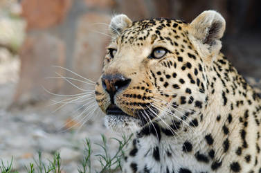 Leopard, Aquilla, South Africa by lurker-