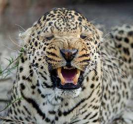 Snarling Leopard, Aquilla, South Africa by lurker-