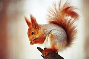 squirrel by Vurtov