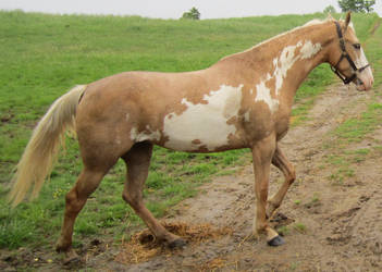 Paint Horse Walk 001 by peachesrox-stock