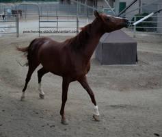 Arabian 002 by peachesrox-stock