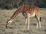 Grazing Giraffe by TheFriendlyElephant