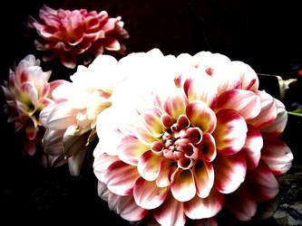 Pink Daliahs by TaylorTator