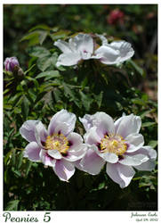 Peonies 5 by foxprimephotos
