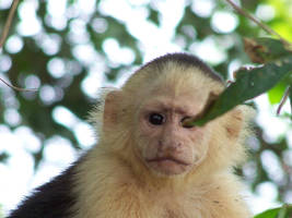 Capuchin in Costa Rica by sayterdarkwynd