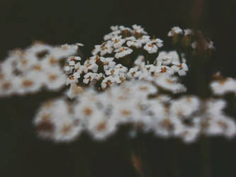 Chamomile flowers by Silvia-Pp