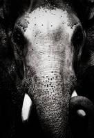 rage - elephant by anupjkat