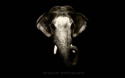 Elephant head by anupjkat