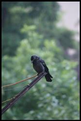 Black Bird. by Ricki-Tiki-Tak