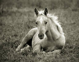 palomino in sepia by jenah