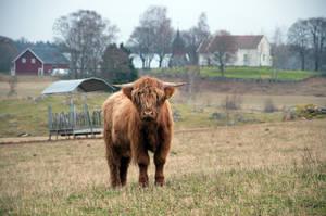 Highland cattle by RavensLane