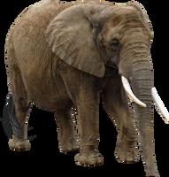 Elephant by RavensLane