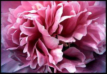Petals by ti-ia