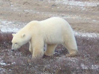 Polar Bear 1 by shaded-stock