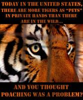 The American Tiger Addiction by NaturePunk
