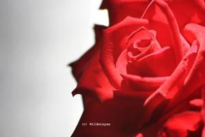 In Love by WildWinyan
