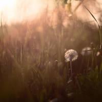 dandelion by frayart