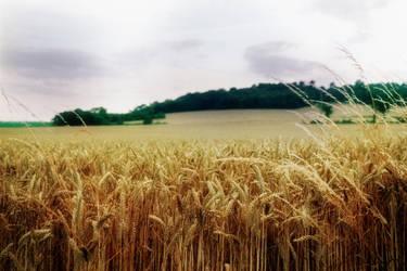 Field Of gold by WanderingSoul-Stox