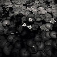 Lotus III by Menoevil