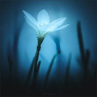 Rain Lily by Menoevil