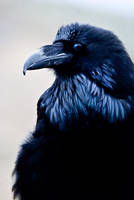 20100525-0017 Raven by Yellowstoned