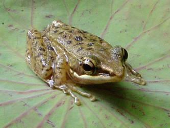 Frog by theblacklotus19