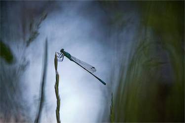 Damsellfly 2 by naybetx