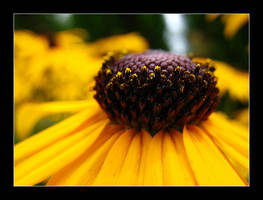 Black eyed susans 2 by MichelleMarie