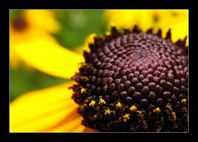 Black eyed susans 3 by MichelleMarie