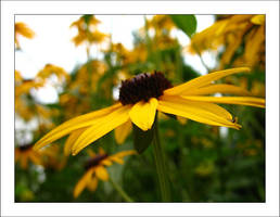 Black eyed susans 5 by MichelleMarie
