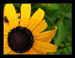 Black eyed susans 4 by MichelleMarie