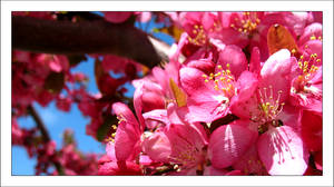 Pink Flowers by MichelleMarie