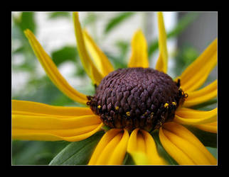 Black Eyed Susan by MichelleMarie