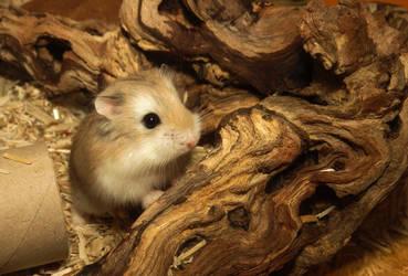Roborovski hamster by Marika-Spijkers