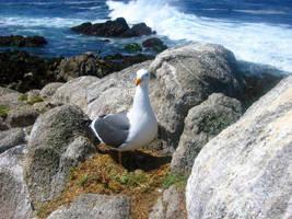 sea gull by mysweetreverie