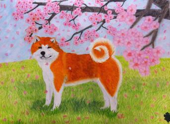 Akita and Cherry Blossom by Yama-no-Mouken