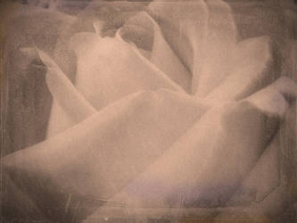 Rose by Ealin