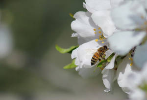 Almond flowers and bee by Claus0489