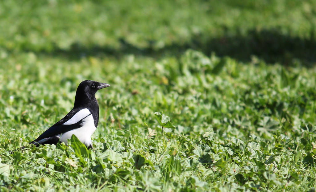 Magpie by Claus0489
