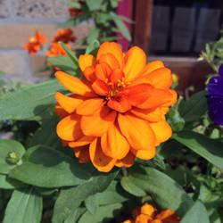 Orange Zinnia by 4pplemoon