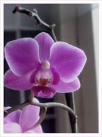 Orchid by emeliten