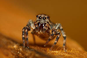 jumping spider 57 by JamesMedlin