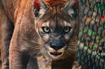 Panther Snarl. by pasofino6